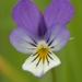 Viola tricolor - Photo (c) AnneTanne, μερικά δικαιώματα διατηρούνται (CC BY-NC)