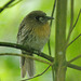 Moustached Puffbird - Photo (c) Dave Curtis, some rights reserved (CC BY-NC-ND)