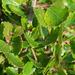 Betula glandulosa - Photo (c) Connie Taylor, algunos derechos reservados (CC BY)