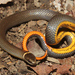 Prairie Ringneck Snake - Photo (c) Travis W. Reeder, some rights reserved (CC BY-NC)