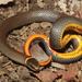 Diadophis punctatus arnyi - Photo (c) Travis W. Reeder, μερικά δικαιώματα διατηρούνται (CC BY-NC)