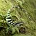 Diploderma makii - Photo (c) 小工友, algunos derechos reservados (CC BY-NC-ND)