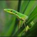 Takydromus sauteri - Photo (c) Skink Chen,  זכויות יוצרים חלקיות (CC BY-NC-ND)