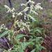 Koenigia alaskana - Photo (c) betsey, algunos derechos reservados (CC BY-NC)