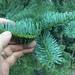 Abies magnifica shastensis - Photo (c) Michael Kauffmann, algunos derechos reservados (CC BY-NC)