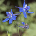 Nuttall's Larkspur - Photo (c) Bill Bouton, some rights reserved (CC BY-SA)