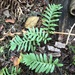 Licorice Fern - Photo (c) maharas, some rights reserved (CC BY-NC)