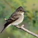 Western Wood-Pewee - Photo (c) Ad Konings, some rights reserved (CC BY-NC)