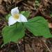 Trillium ovatum ovatum - Photo (c) born1945, algunos derechos reservados (CC BY)
