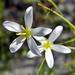 Sabatia brevifolia - Photo (c) Bob Peterson, algunos derechos reservados (CC BY-NC-SA)
