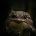 Sri Lanka Frogmouth - Photo (c) Ravisara Jayamanna, some rights reserved (CC BY-NC)