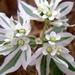 Euphorbia marginata - Photo (c) Doug Grinbergs, algunos derechos reservados (CC BY-NC)