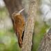 Xiphorhynchus guttatus - Photo (c) Cláudio Dias Timm,  זכויות יוצרים חלקיות (CC BY-NC-SA)