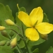 Greater Celandine - Photo (c) AnneTanne, some rights reserved (CC BY-NC)