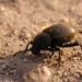 Escarabajo Oscuro Lanudo - Photo (c) Justin, algunos derechos reservados (CC BY)