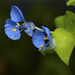 Tropical Spiderwort - Photo (c) sunnyjosef, some rights reserved (CC BY)