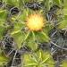 Ferocactus robustus - Photo (c) Gerardo Tapia Hervert Calderón., some rights reserved (CC BY-NC)