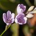 Ixia flexuosa - Photo (c) carinalochner, algunos derechos reservados (CC BY-NC)