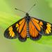 Actinote anteas - Photo (c) David Monroy R,  זכויות יוצרים חלקיות (CC BY-NC)