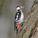 Syrian Woodpecker - Photo (c) Анна Голубева, some rights reserved (CC BY-NC-ND)