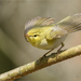 Wood Warbler - Photo (c) Анна Голубева, some rights reserved (CC BY-NC-ND)
