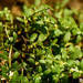 Terrestrial Water-Starwort - Photo (c) Smithsonian Institution, National Museum of Natural History, Department of Botany, some rights reserved (CC BY-NC-SA)