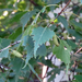 Gray Birch - Photo (c) Charlotte Bill, some rights reserved (CC BY-NC)