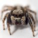 House Jumping Spider - Photo (c) Cédric Mondy, some rights reserved (CC BY-NC)