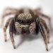 Pseudeuophrys lanigera - Photo (c) Cédric Mondy, alguns direitos reservados (CC BY-NC)