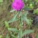 Centaurea nigra - Photo (c) Cody Chapman, algunos derechos reservados (CC BY-NC)