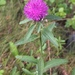 Black Knapweed - Photo (c) Cody Chapman, some rights reserved (CC BY-NC)