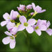 Cuckooflower - Photo (c) Steve Chilton, some rights reserved (CC BY-NC-ND)
