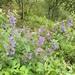 Nepeta sibirica - Photo (c) dschigel, algunos derechos reservados (CC BY)