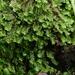 Diplophyllum - Photo (c) Susan Marley, algunos derechos reservados (CC BY)