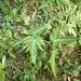 Rubus glabricarpus eglandulosus - Photo (c) Aaron Liston, some rights reserved (CC BY)
