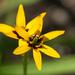 Baeometra uniflora - Photo (c) dogtooth77, osa oikeuksista pidätetään (CC BY-NC-SA)