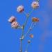 Eriogonum angulosum - Photo (c) dgreenberger, algunos derechos reservados (CC BY-NC-ND)