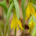 Largeflower Bellwort - Photo (c) JanetandPhil, some rights reserved (CC BY-NC-ND)
