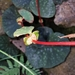 Begonia tapatia - Photo (c) Pablo Carrillo-Reyes, algunos derechos reservados (CC BY-NC)