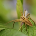 European Nursery Web Spider - Photo (c) AnneTanne, some rights reserved (CC BY-NC)