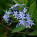 Amsonia tabernaemontana - Photo (c) John B., algunos derechos reservados (CC BY)
