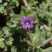 Petunia Silvestre - Photo (c) James Bailey, algunos derechos reservados (CC BY-NC)