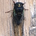 Dark Lyric Cicada - Photo (c) Kevin Metcalf, some rights reserved (CC BY-NC)