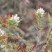 Polygonum paronychia - Photo (c) icosahedron, algunos derechos reservados (CC BY)