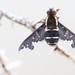 Hemipenthes maura - Photo (c) Joachim Wimmer, algunos derechos reservados (CC BY-NC-ND)