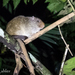 Amazon Bamboo Rat - Photo (c) Phil Kahler, some rights reserved (CC BY-NC)