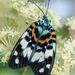 Erasmia pulchella - Photo (c) Shipher (士緯) Wu (吳), algunos derechos reservados (CC BY-NC-SA)