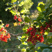 Red Currant - Photo (c) Rafael Muxiven, some rights reserved (CC BY-NC)