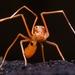 Amyciaea forticeps - Photo (c) Harikrishnan S, algunos derechos reservados (CC BY-NC)