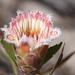 Protea mundii - Photo (c) Marco Schmidt,  זכויות יוצרים חלקיות (CC BY-NC-SA)